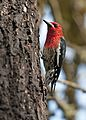 Red-breasted Sapsucker - 1.jpg