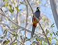 Red-capped Parrot, Blackadder Wetland 3.jpg