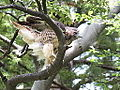 Red-tailed Hawk (8434833432).jpg