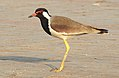 Red-wattled Lapwing Vanellus indicus by Dr. Raju Kasambe DSCN9584 (3).jpg