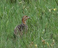 Red-winged Francolin (Francolinus levaillantii)