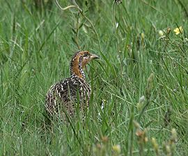 Red-winged Francolin (Francolinus levaillantii).jpg