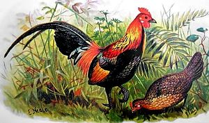 Red junglefowl - Illustration of male and female red junglefowl