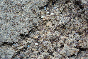 Fire ant - Fire ant mound