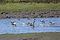 Redheads in Otay River (8361290537).jpg