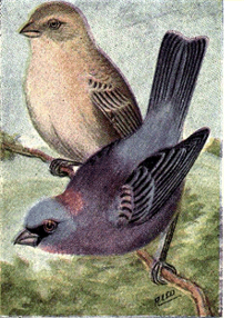 Reed-varied-bunting.png