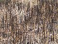 Reeds burned.jpg