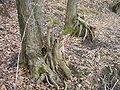 Regeneration from coppice alnus gluinosa 1 beentree.jpg