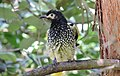 Regent honeyeater, Xanthomyza phrygia, Sydney, Australia. Not the best picture on a cloudy day with crappy camera, but quite a striking bird. (16445299203).jpg