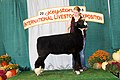 Reserve Champion Natural Colored Ram (31271957528).jpg