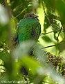 Resplendent Quetzal (2722348571).jpg