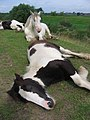 Resting horses on the bank of the River Dearne near Harlington, South Yorkshire.jpg