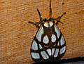 Reticulate Bagnet (Anaphe reticulata) (12680208323).jpg