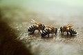 Reunión de abejas (8249939698).jpg