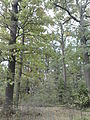 Rezerwat przyrody Dęby w Meszczach 11.20.jpg