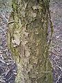 Rhamnus cathartica R0015175.jpg