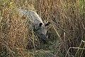 Rhino in the grass.jpg