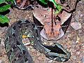 Rhinoceros Viper (Bitis nasicornis) and Gaboon Viper (Bitis gabonica) captive specimens (21362330860).jpg