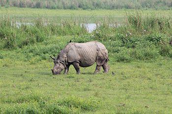 Rhinoceros kaziranga.jpg