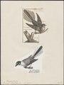 Rhipidura flabellifera - 1700-1880 - Print - Iconographia Zoologica - Special Collections University of Amsterdam - UBA01 IZ16500091.tif