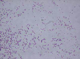 <i>Rhodococcus fascians</i>
