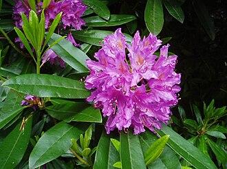 Rhododendron ponticum - R. ponticum flower