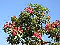 Rhododendron - panoramio - Baden de (4).jpg