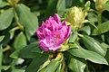 Rhododendron catawbiense English Roseum 0zz.jpg