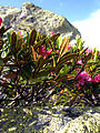 Rhododendron ferrugineum Valais2.JPG