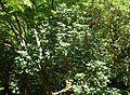 Rhododendron thomsonii - VanDusen Botanical Garden - Vancouver, BC - DSC07166.jpg