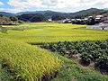 Rice Paddies (31248551001).jpg