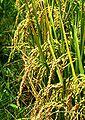 Rice seed heads.JPG