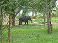 Ridi Vihara-Eléphant.jpg