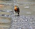 Robin (30340164986).jpg