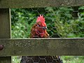 Rooster in the Heddon Valley, July 2017.jpg