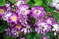 Rosa Veilchenblau - Giverny01.jpg