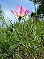 Rosa gallica sl15.jpg