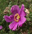 Rosa minutifolia.jpg