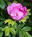 Rosa rugosa 2015-06-16 408.JPG