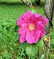 Rosa rugosa inflorescence (24).jpg