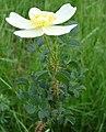 Rosa spinosissima inflorescence (21).jpg