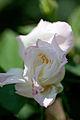 Rose, Hakkoda - Flickr - nekonomania (1).jpg