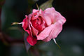 Rose, Lilibet - Flickr - nekonomania (5).jpg