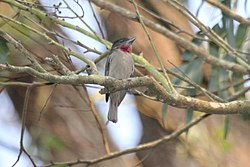 Rose-throated Becard (Pachyramphus aglaiae) (5799693872).jpg