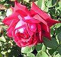 Rose Burgund 81.jpg
