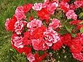 Roses in a vineyard, Hochheim.jpg