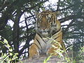 Royal Bengal Tiger - Nehru Zoological Park.JPG
