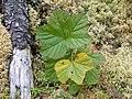 Rubus chamaemorus 1-eheep (5097365065).jpg
