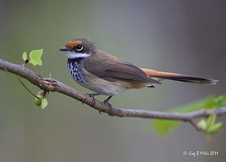 Rufous fantail - Adult