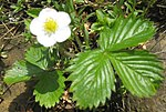 Ruhland, Grenzstr. 3, Wald-Erdbeere im Garten, blühende Pflanze, Frühling, 01.jpg